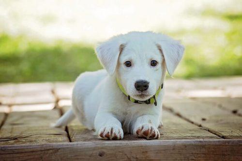 白くて小さい犬