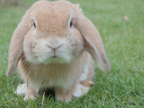 垂れ耳のウサギ。可愛すぎる