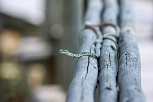 木で出来た橋を渡っている小さい蛇