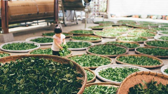 玉露茶の茶工場