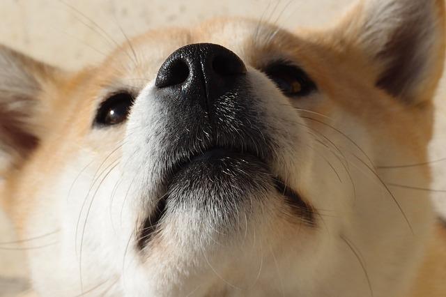 鼻を突き上げる柴犬